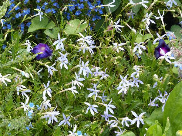 Isotoma axillaris Lindl. 'Laurita Blue'