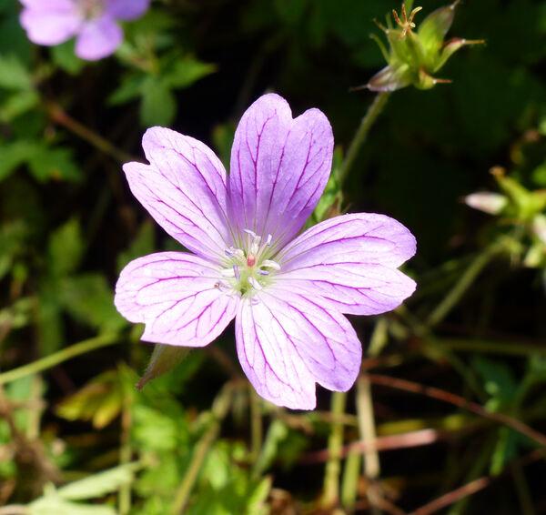 Geranium x oxonianum Yeo 'Lady Moore'