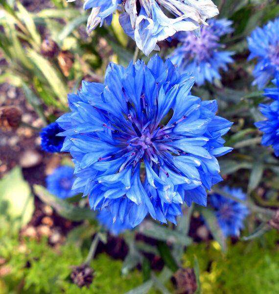 Centaurea cyanus L. 'Jubilee Gem'