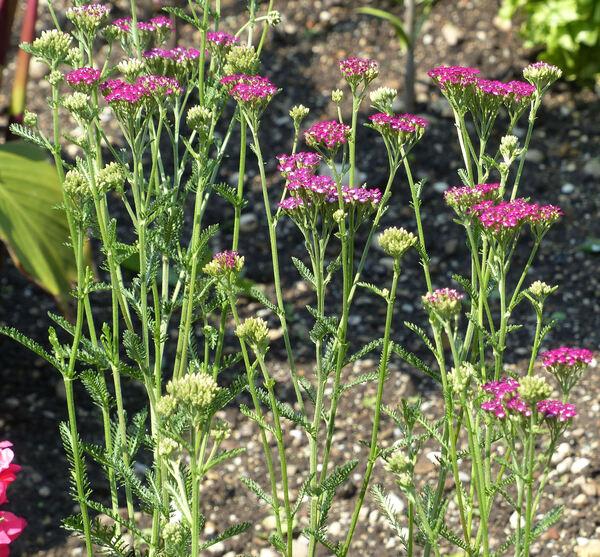 Achillea millefolium L. 'Cassis'