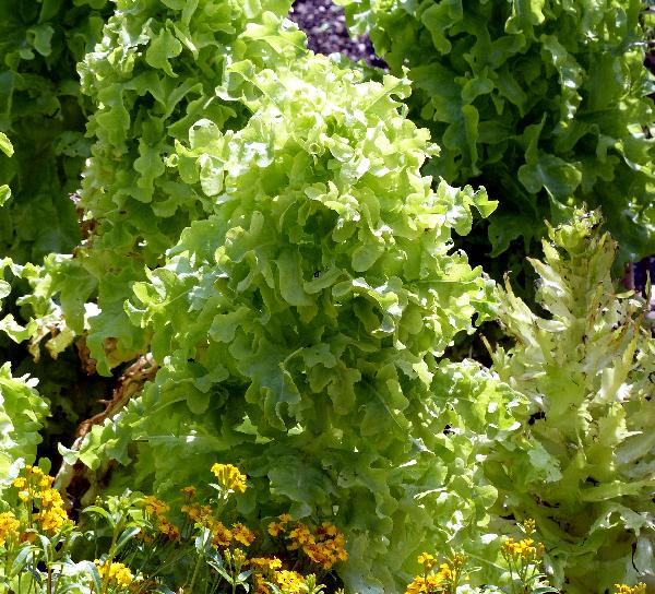 Lactuca sativa L. 'Salad Bowl'