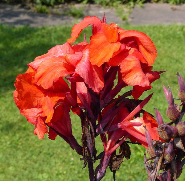 Canna indica L. 'Red King Humbert'