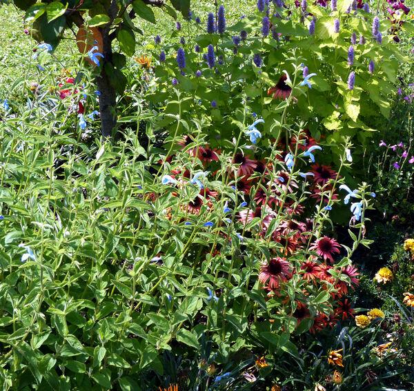 Salvia patens Cav. 'Cambridge Blue'