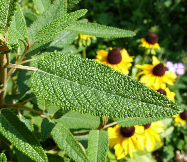 Salvia corrugata Vahl