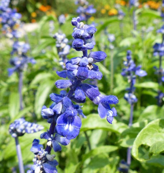 Salvia farinacea Benth. 'Victoria Blue'