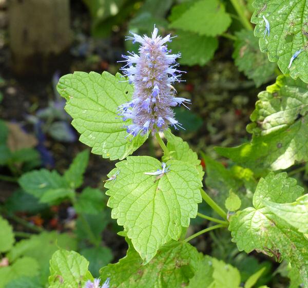Agastache foeniculum (Pursh) Kuntze 'Golden Jubilee'
