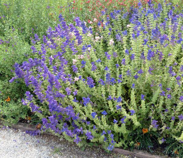Salvia viridis L. 'Oxford Blue'