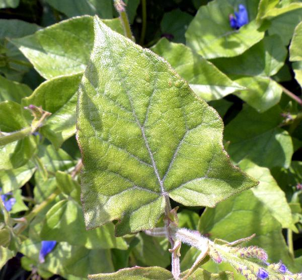 Salvia cacaliifolia Benth.