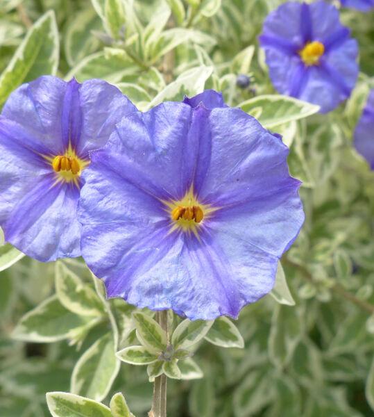 Lycianthes rantonnetii (Carrière) Bitter 'Variegata'
