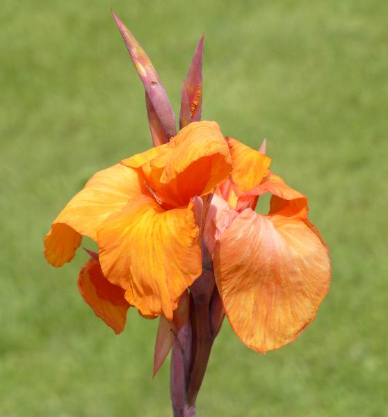 Canna indica L. 'Wyoming'
