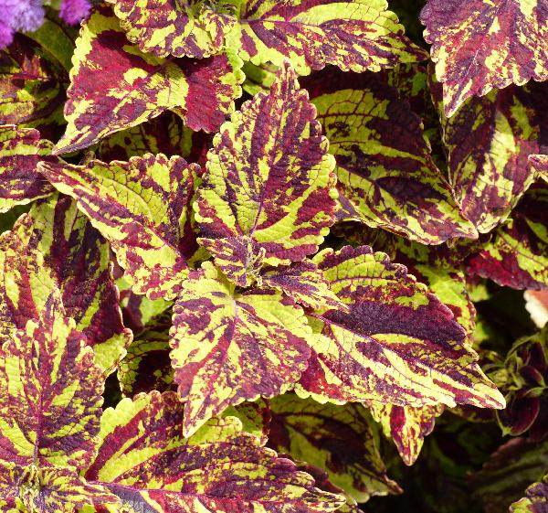 Plectranthus scutellarioides (L.) R.Br. 'Fishnet Stockings'