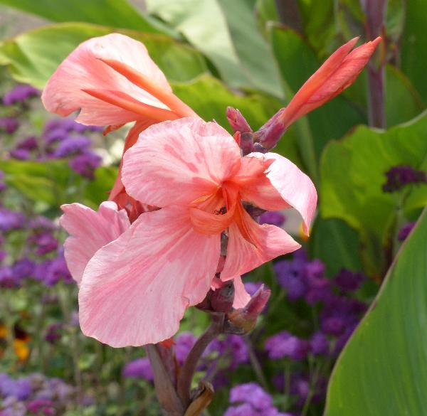 Canna indica L. 'Whithelm Pride'