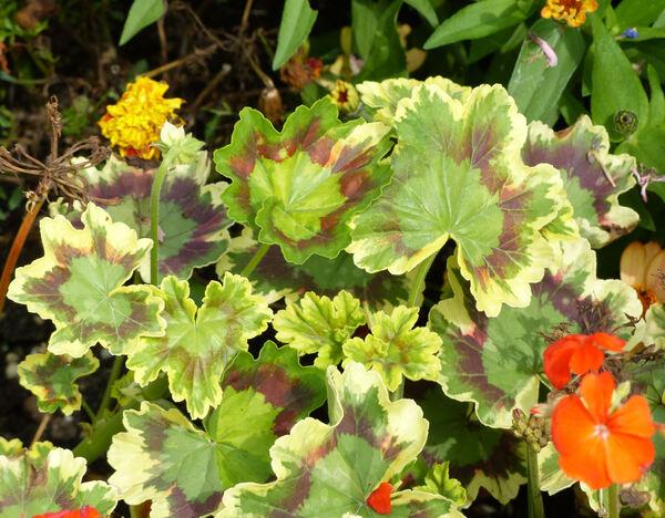 Pelargonium 'Mrs. Pollock'