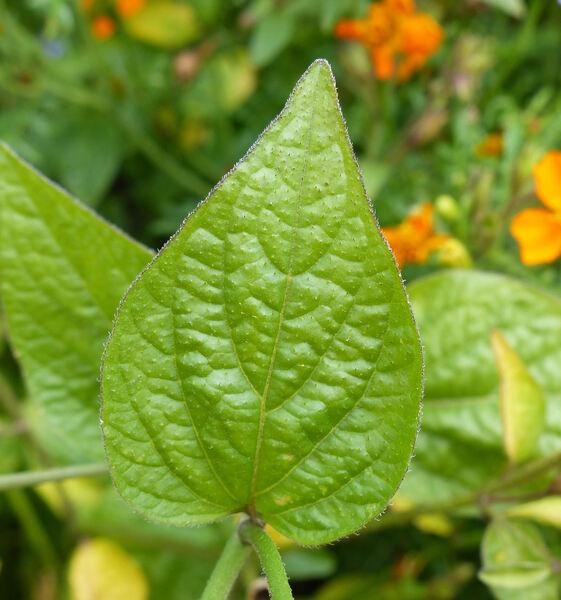Browallia americana L.