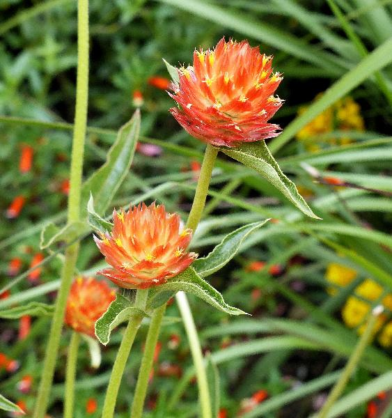 Gomphrena haageana Klotzsch 'Orange'