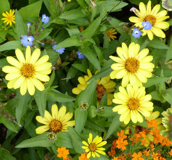 Zinnia haageana Regel 'Profusion Yellow'