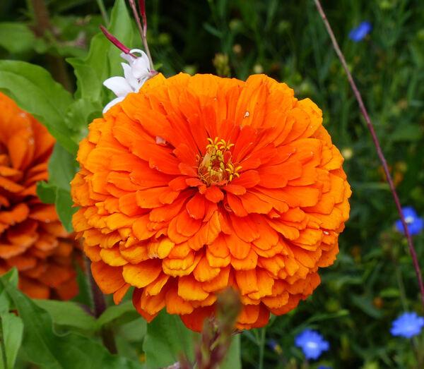 Zinnia violacea Cav. 'Queeny Orange'
