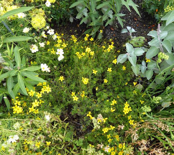 Bidens ferulifolia (Jacq.) Sweet
