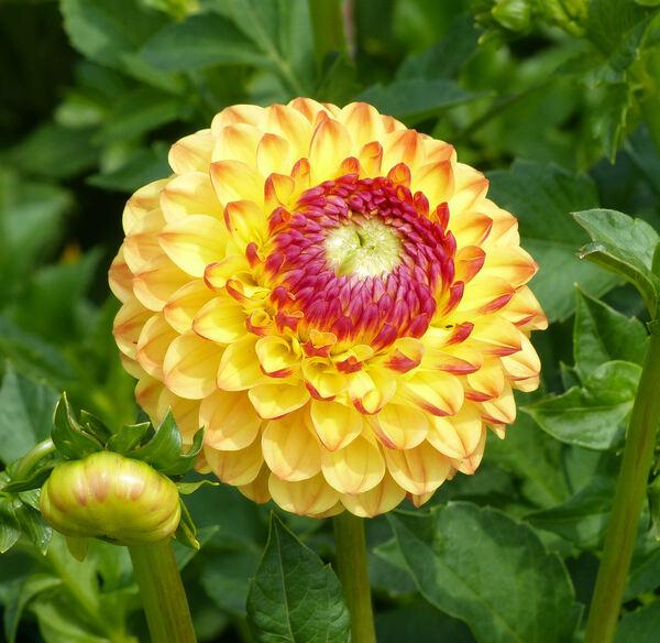 Dahlia 'Yellow Jewel'