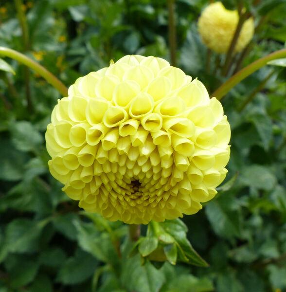 Dahlia 'Fidalgo Buttercup'