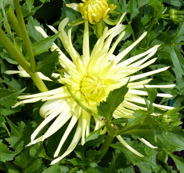 Dahlia 'Gryson's Yellow Spider'