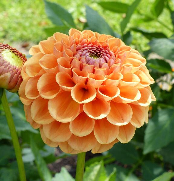 Dahlia 'Ruskin Tangerine'