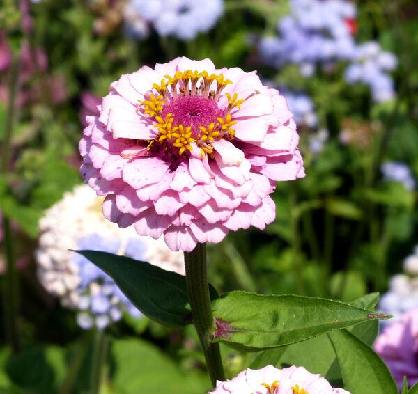 Zinnia violacea Cav. 'Queeny Light Violet'