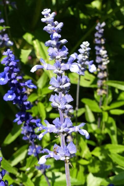 Salvia farinacea Benth. 'Fairy Queen'
