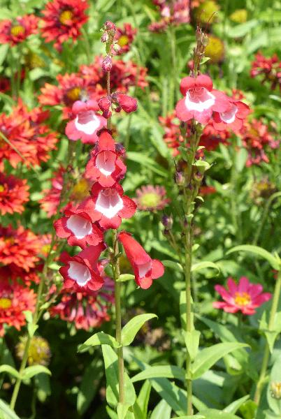 Penstemon hartwegii Benth. 'Scharlachkönigin'