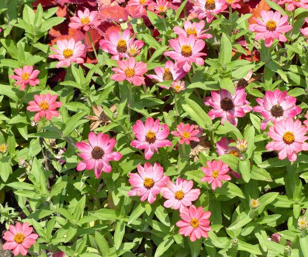 Zinnia violacea Cav. 'Profusion Coral Pink'