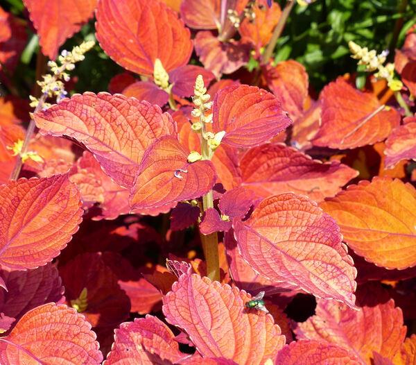 Plectranthus scutellarioides (L.) R.Br. 'Funny Red'