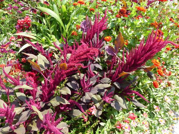 Amaranthus cruentus L. 'Velvet Curtains'
