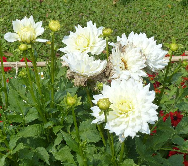 Dahlia 'Snow Country'