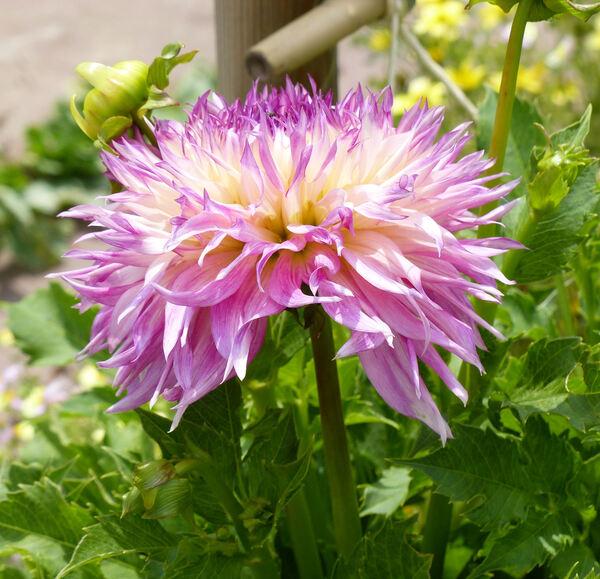 Dahlia 'Babylon Rose'