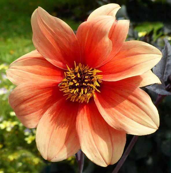Dahlia 'Bishop of Oxford'