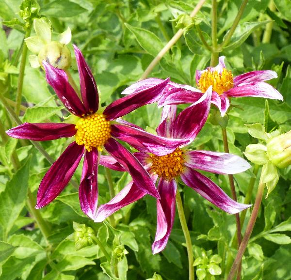 Dahlia 'Grape Expectations'