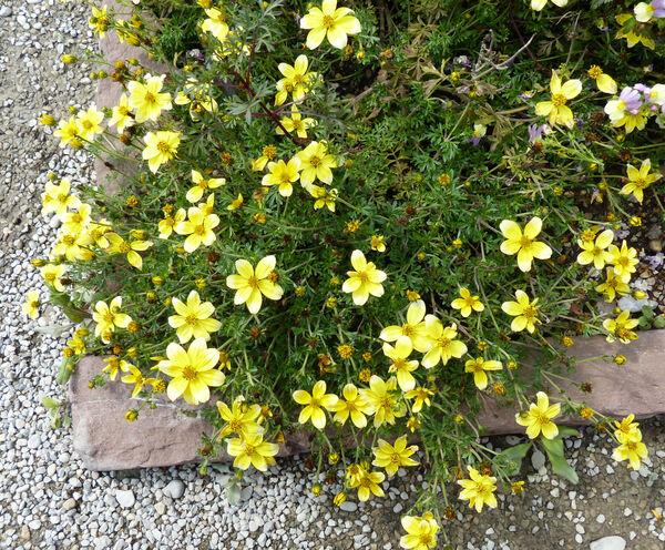 Bidens ferulifolia (Jacq.) Sweet 'Lemon Moon'