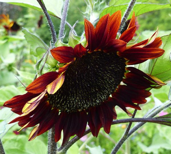 Helianthus annuus L. 'Black Beauty'