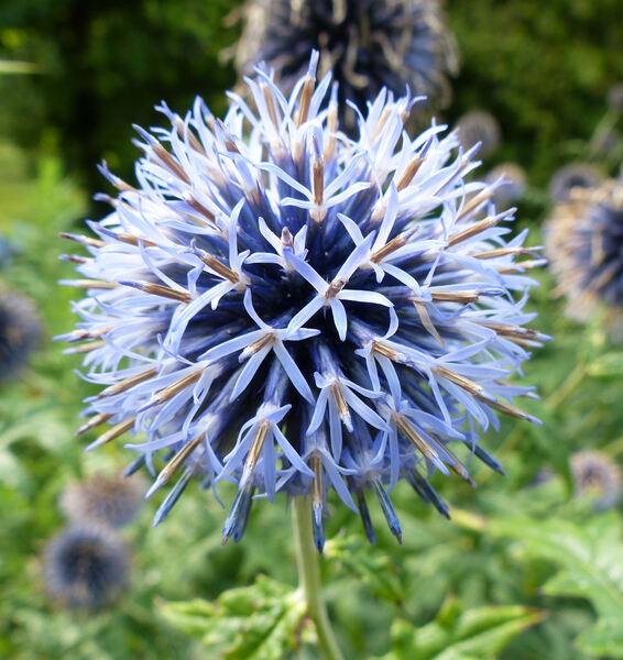 Echinops bannaticus Rochel ex Schrad.'Taplow Blue'