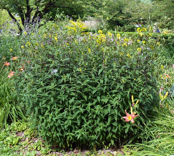 Rudbeckia laciniata L. 'Fallschirm'