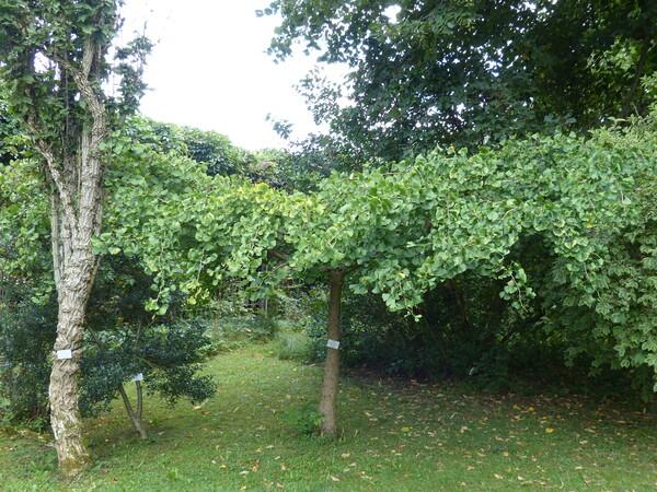 Ginkgo biloba L. 'Pendula'