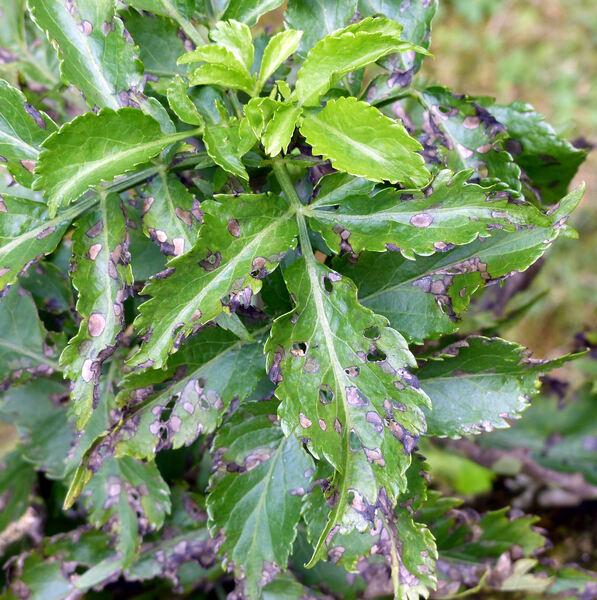Sambucus nigra L. 'Pyramidalis'