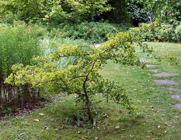 Ginkgo biloba L. 'Tubifolia'