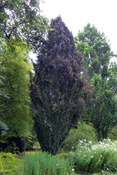 Fagus sylvatica L. 'Rohan Obelisk'