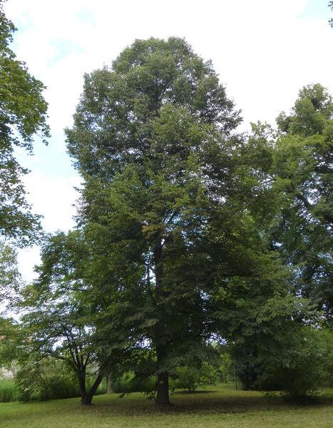 Tilia x orbicularis (Carrière) Jouin.