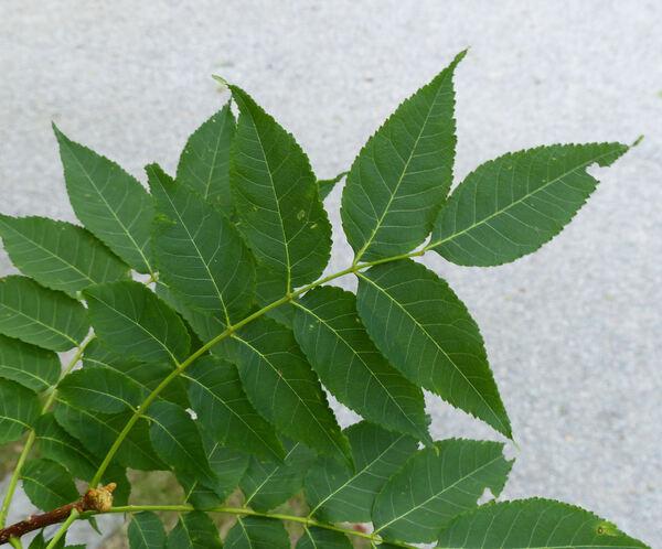 Picrasma quassioides (D.Don) Benn.