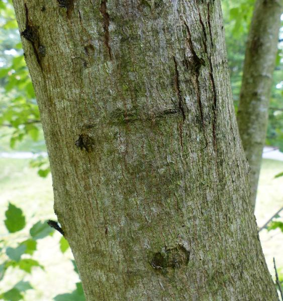 Acer platanoides L. subsp. turkestanicum (Pax) P.C.DeJong