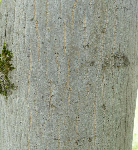 Acer cappadocicum Gled. 'Rubrum'
