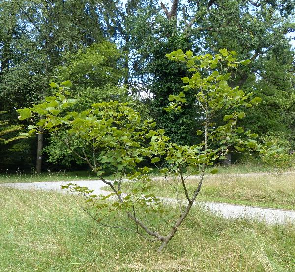 Acer opalus Mill. subsp. obtusatum (Waldst. & Kit. ex Willd.) Gams