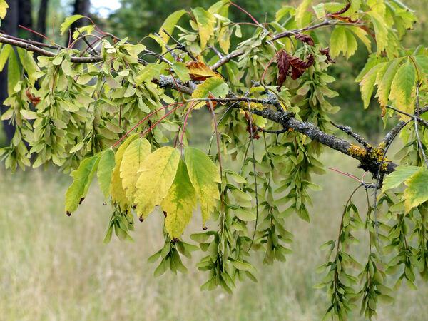 Acer cissifolium (Siebold & Zucc.) K. Koch